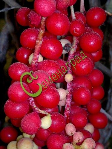 Семена Лимонник китайский - 10 семян - многолетняя плодовая и декоративная лиана до 5 м длиной