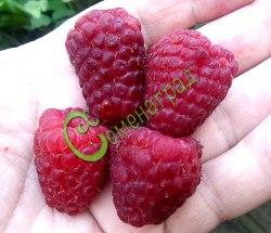"""Семена малины Малина """"Купчиха"""" - ремонтантная, крупноплодная, прямостоячая (малиновое дерево), не требует подвязки, не гнётся под дождём, урожай на побегах прошлого года с июля, на свежих побегах в августе-сентябре и до морозов, ягоды тёмно-малинового, очень красивого цвета. При выращивании из семян ремонтантность сохраняется, крупноплодность остаётся на хорошем уровне, семена сажать под зиму под снег в ящик, весной ящик хорошо бы внести в теплицу. Семенаград - семена почтой"""