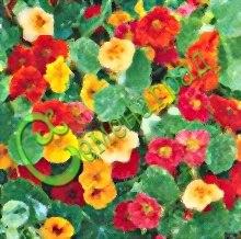 Семена настурции Настурция, смесь окрасок - побеги до 1,5 м. Цветет с июня до заморозков. Украшение сада и балкона, отличное овощное растение - листья, цветочные почки и, особенно, молодые цветы придают пикантный вкус зеленым салатам, распустившиеся цветы применяют в виде гарнира. Семенаград - семена почтой