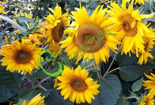 Семена подсолнечника Подсолнечник «Пачино», 1 уп.-10 семян - выведен в Австрии, настоящий подсолнечник, только мини. Идеально подходит для клумб, горшков и балконов, высотой 30-40 см. Это также украшение крыши, лестницы или террасы. Семенаград - семена почтой