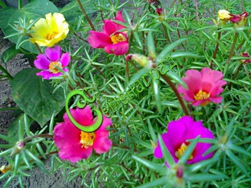 Семена портулака Портулак-цветы - 1 уп.-30 семян - однолетник, окраска цветов самая разнообразная, цветет весело, обильно и продолжительно, сам сеется, используют в бордюрах и низких клумбах. Семенаград - семена почтой