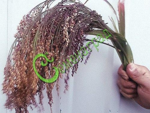 Семена проса Просо декоративное, 1 уп.-30 семян - прочный ветвистый однолетник, метёлки с фиолетовым оттенком струями ниспадают вниз, высота до 1,5 м. Семенаград - семена почтой