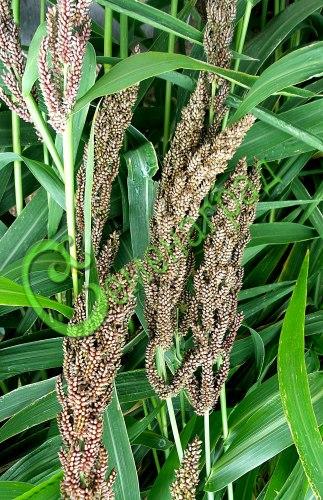 Семена проса Просо японское (пайза) - 1 уп.-30 семян - декоративный злак высотой до 1,5 м, корм и сухоцвет, для зимних букетов. Семенаград - семена почтой