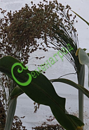 Семена почтой Сорго веничное, 20 семян, веники настоящие, при благоприятных условиях может вырасти высотой до 3 м