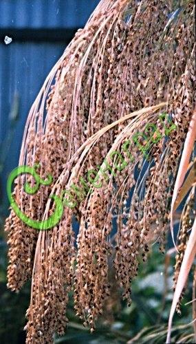 Семена сорго Сорго сахарное, 1 уп.-20 семян - как сорго веничное, при благоприятных условиях может вырасти высотой до 3 м, из стеблей вываривается сахарный сироп, а метёлки - на веники. Семенаград - семена почтой