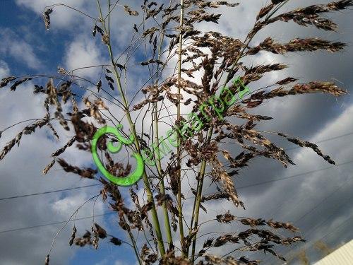 Семена Суданская трава (сорго суданское), 30 семян, эффективная кормовая культура и метёлки-сухоцветы, до 2 м