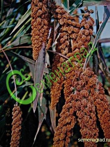 Семена почтой Чумиза коломенская, 30семян, декоративный урожайный однолетник, обильный корм и сухоцвет чуть больше 1м