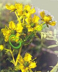 Семена Рута душистая, 20 семян, многолетник, используется в народной медицине, декоративна, высотой 50 см
