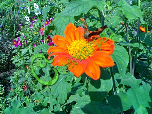 Семена Титония круглолистная Красный фонарь, 30 семян, мощный 1-летник, оранжево-красные цветки диаметром 10 см
