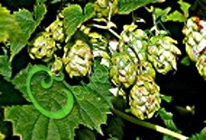 Семена Хмель обыкновенный - 10 семян - 10 семян - мощный многолетник для вертикального озеленения