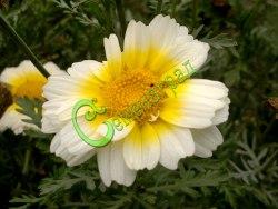 Семена хризантемы овощной Хризантема килеватая - овощная, однолетняя, цветки белые, желтые, к основанию красные, диаметром до 7 см, высота растений до 1 м, очень энергичное и нарядное растение, в пищу употребляют стебли, цветы, листья с приятным, пряным запахом петрушки (салаты, супы, приправы). Семенаград - семена почтой
