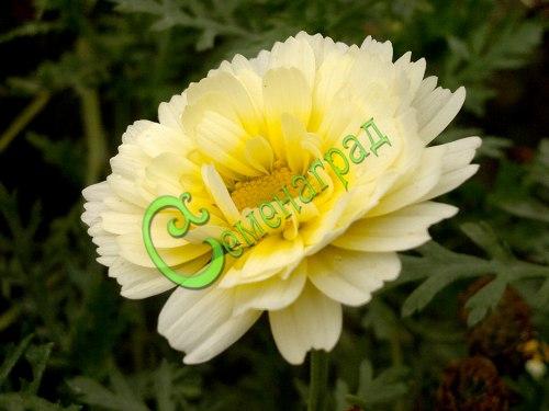 Семена Хризантема овощная килеватая, 30 семян, однолетняя, в пищу употребляют в салаты, супы, приправы