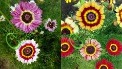 """Семена Хризантемы разноцветной Хризантема разноцветная """"Рецепты Мэри"""", выведена во Франции - однолетние яркие и разнообразные цветы, цветение в течение всего лета до морозов. Семенаград - семена почтой"""