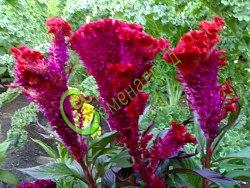 """Семена целозии Целозия """"Петушиный гребешок"""" - необычайно-красивые крупные пурпурно-красные соцветия в форме петушиных гребешков, цветение до морозов, отличный сухоцвет для зимних букетов. Семенаград - семена почтой"""