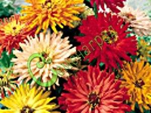 Семена Цинния кактусовидная (смесь окрасок) - 30 семян - высотой до 90 см, соцветия до 15 см в диаметре