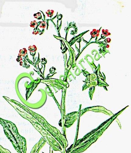 Семена чернокорня Чернокорень - 1 уп.-5 семян - эффективное средство от мышей, крыс и кротов в саду и в доме. Грызуны уходят с участка, где растет чернокорень, семена сажать под зиму или стратифицировать 3 месяца. Семенаград - семена почтой
