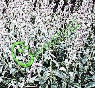 Семена Чистец шерстистый или стахис, заячьи ушки, 30 семян, посеребрённый многолетний цветок высотой 30-40 см
