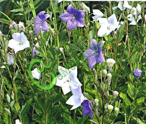 Семена Ширококолокольчик крупноцветковый (30 семян - многолетник высотой 40-50 см, крупные синие и белые звёзды-колокольчики)