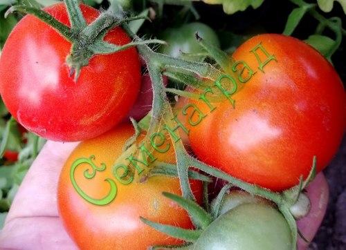 Семена томатов Грибовский грунтовый - 1 уп.-20 семян - до 200 г. ранний, урожайный, среднерослый. Семенаград - семена почтой