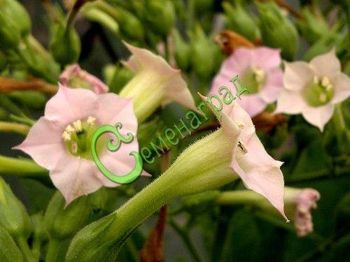 Семена почтой Табак «Турецкий» - 30 семян - красивый мощный куст, лист убирать в фазе начала пожелтения