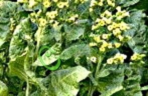 Семена махорки Махорка - 1 уп.-30 семян - махорку выращивают в различных зонах нашей страны - от Заполярья до южных районов, выращивать рассадой как и табак «Турецкий». Семенаград - семена почтой