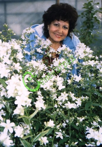 Семена Сапонария, 30 семян, многолетник, высотой до 1м, цветки белые 3 см в диаметре, душистые, цветёт всё лето
