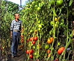 Авторский видеофильм 1995 года, 2 диска - с личными рекомендациями, как результат многолетнего опыта работы с растениями, который послужит Вам наглядным пособием по выращиванию томатов, перцев, баклажанов, лагенарий, люффы, момордики, тладианты, бамии, вигны. Большую часть фильма занимает материал о томатах, где наглядно показаны необходимые агротехнические приёмы выращивания. Фильм состоит из 2-х частей, каждая часть на отдельном диске DVD. 1 часть - выращивание рассады, посадка растений и выращивание (61 мин.) 2 часть - выращивание, сбор урожая, демонстрация сортов (61 мин.). Семенаград - семена почтой