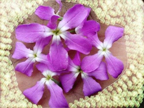 Семена почтой Маттиола двурогая розовая, 30 семян, однолетник, ночная фиалка, всё лето обильно цветущая, высота 50 см