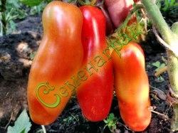 Семена томатов Дрова - низкорослый, среднеранний, сигаровидной формы, малосемянный, сладкий, до 120 г. Семенаград - семена почтой