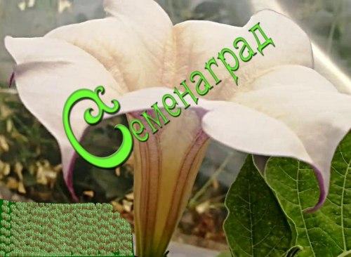 Семена Дурман Розовый граммофон - 5 семян, ароматные, крупные, до 18 см в диаметре, розово-фиолетово-желтовато-белые цветки