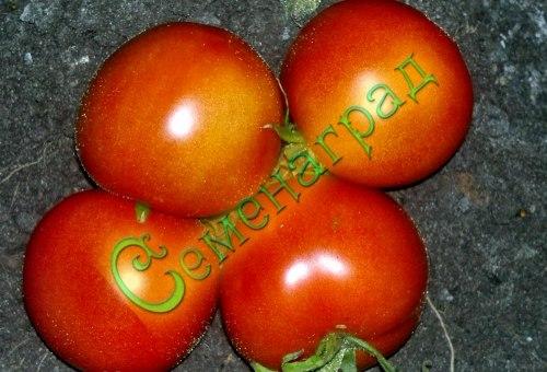 Семена томатов Дубок (20 семян - среднерослый, ранний, до 150 г)