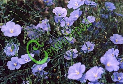Семена Вискария «Бриллиант» - 30 семян, однолетник высотой 30 см с нежно-голубыми, некрупными, трогательными цветками