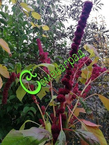 """Семена Амарант помпоновидный """"Ред Кафедрал"""" - 30 семян, однолетник, высотой 1,2 м, соцветия прямостоячие, помпоновидные"""