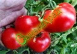 Семена томатов Июньские - среднерослый, ранний, до 150 г, урожайный. Семенаград - семена почтой