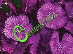 Семена гвоздики турецкой «Фиолетовая гора» - 30 семян, многолетник, ярко-фиолетовые цветки, продолжительное цветение
