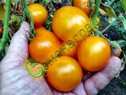 Семена томатов Киндер Рек Делишес - среднерослый, ранний, до 80 г, жёлтый, усыпной. Семенаград - семена почтой