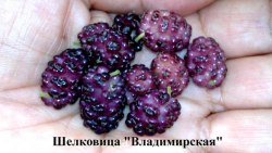 Саженцы шелковицы красной, тутовник (Morus rubra) «Владимирская» 1-летний саженец Садоград