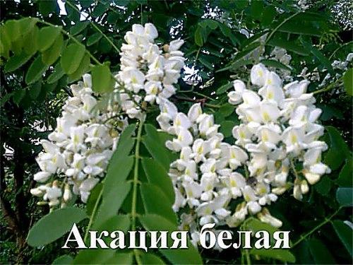 Акация белая - 1 уп - 20 семян, листопадное дерево до 5 м высотой с низкой, широкой и развесистой кроной, морозостойкая форма