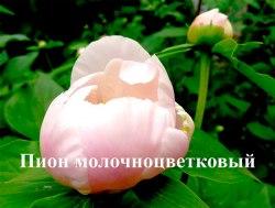 Саженцы пиона молочноцветковый. Paeonia lactiflora 1-летний саженец Садоград