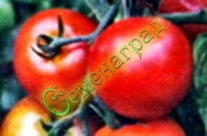 Семена томатов Краса любви (20 семян - низкорослый, ранний, до 200 г)