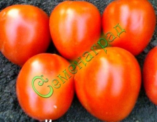 Семена почтой Красная звезда - 1 уп.-20 семян, выведен в Италии - до 120 г, ранний, овальный, низкорослый, в солку. Семенаград - семена почтой